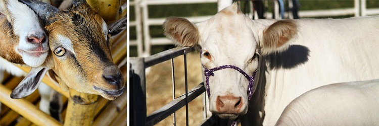 California State Fair Farm Animals